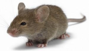 mouse picutre (2)